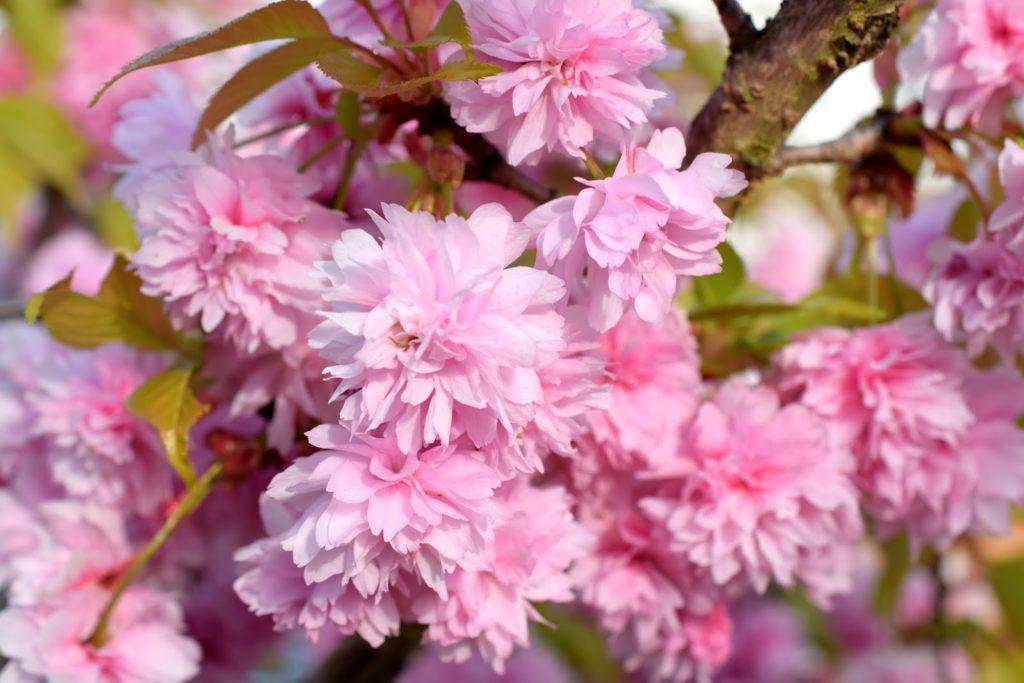 Frühling: Blüten Japanische Zierkirsche