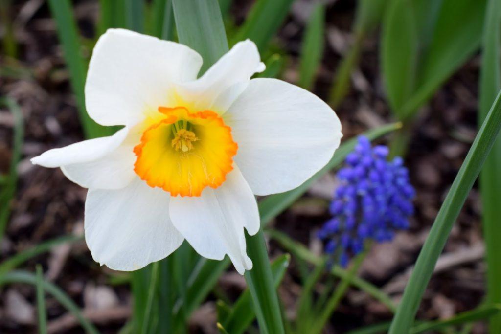 Frühling: Narzisse