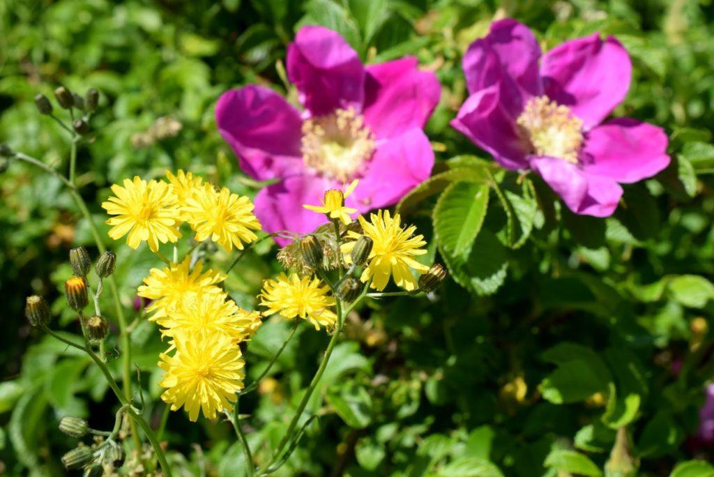 Sommer auf Sylt: Blumen in den Dünen