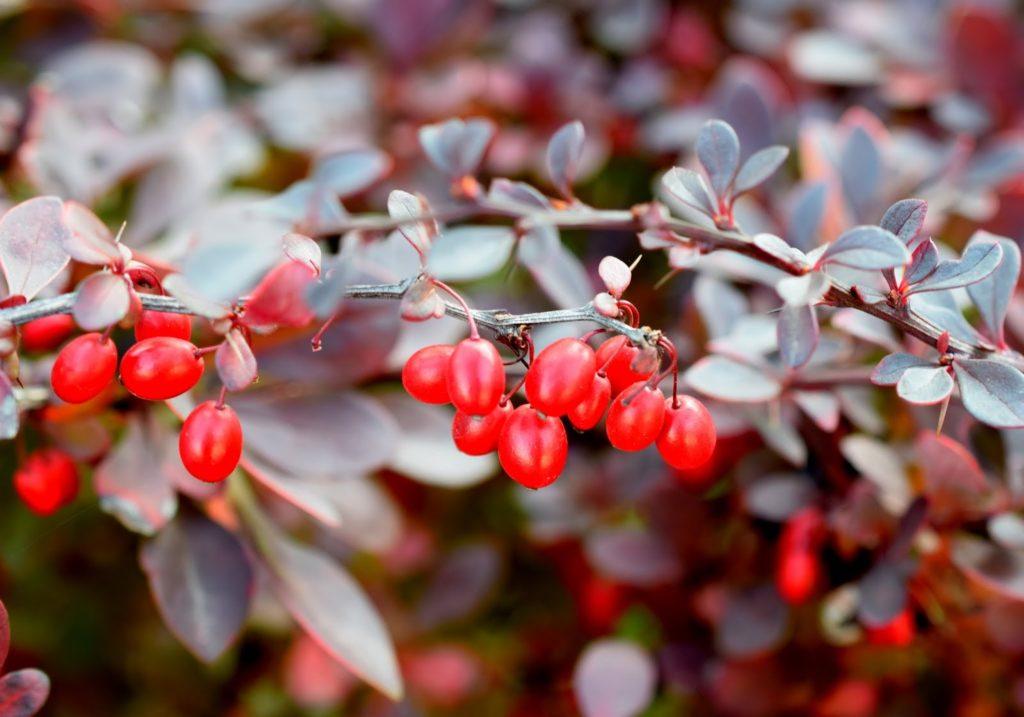 Herbst rote Beeren