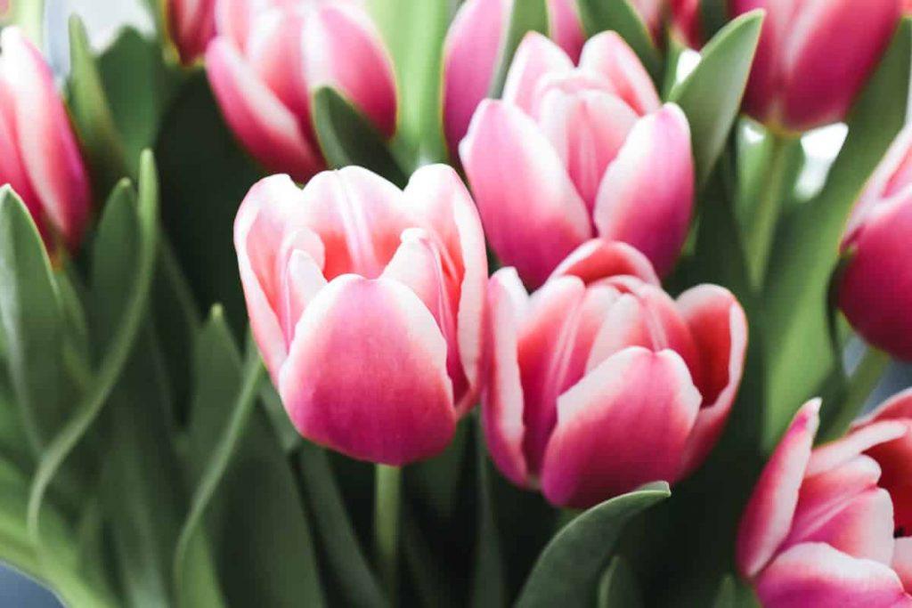 Tulpen länger haltbar in Vase Tulpenstrauß länger frisch Tipps