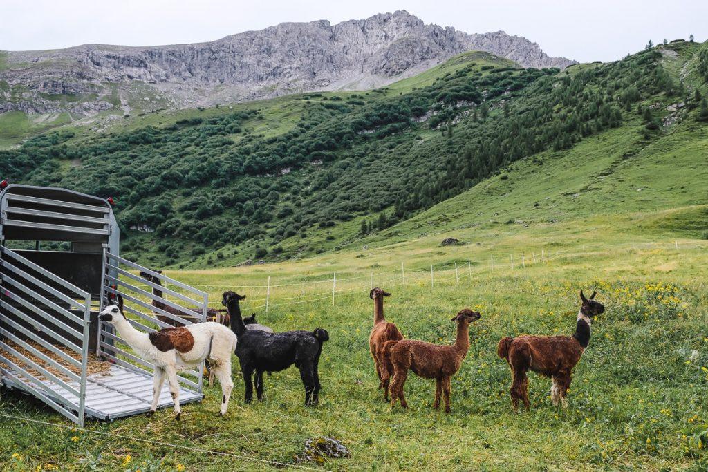 Lama Trekking Tour mit Kindern 3 Jahre alt in Malbun in Liechtenstein auf Mamablog Ineedsunshine