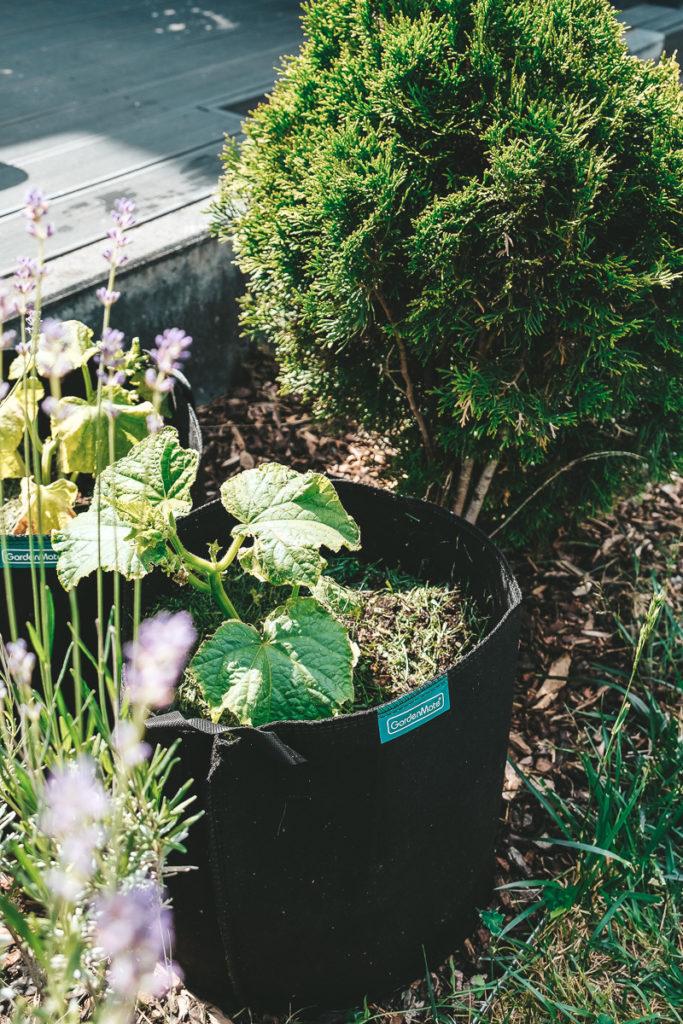 Gurken anpflanzen Gartenarbeit mit Kindern
